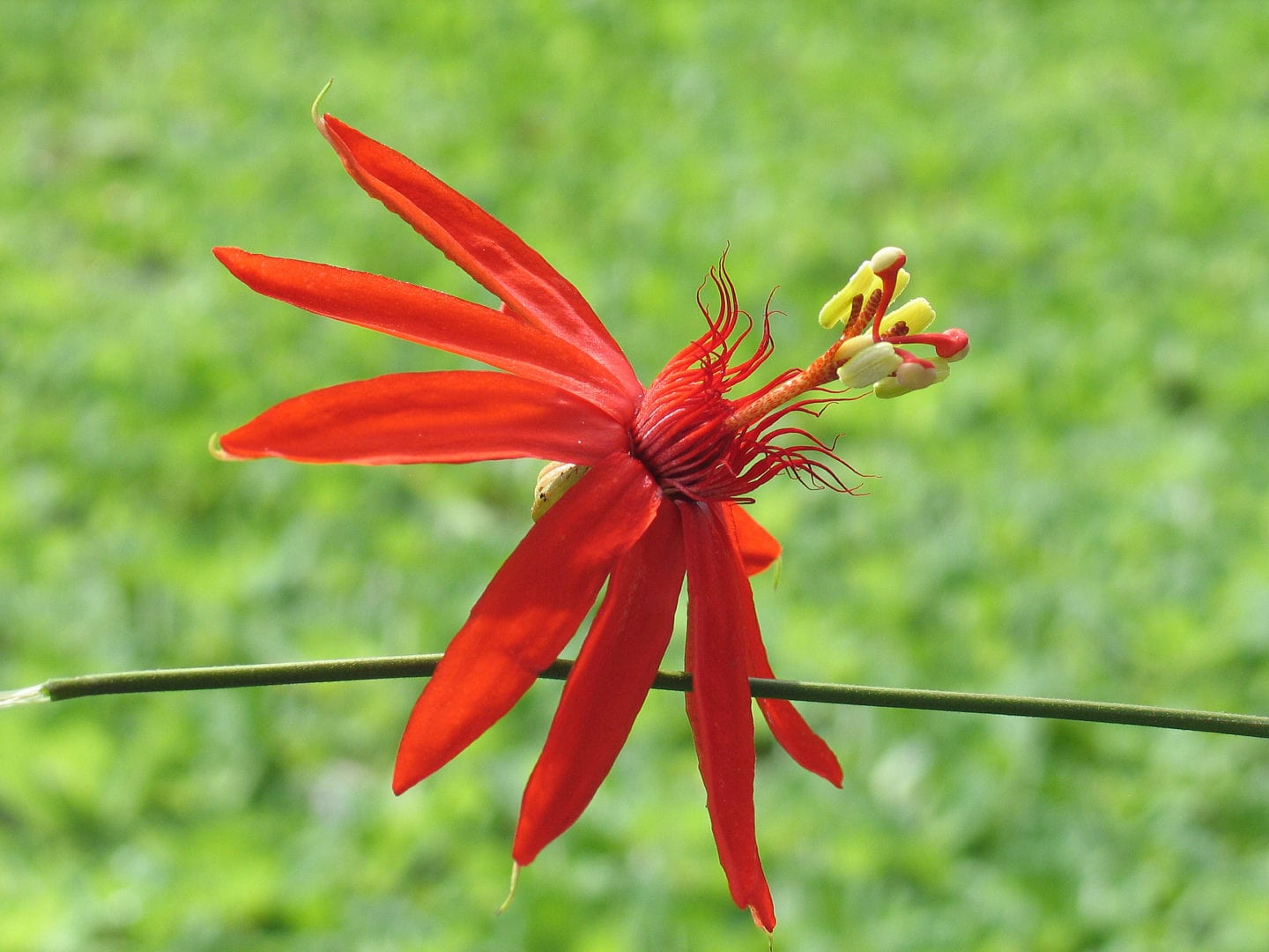 A red Passion Flower