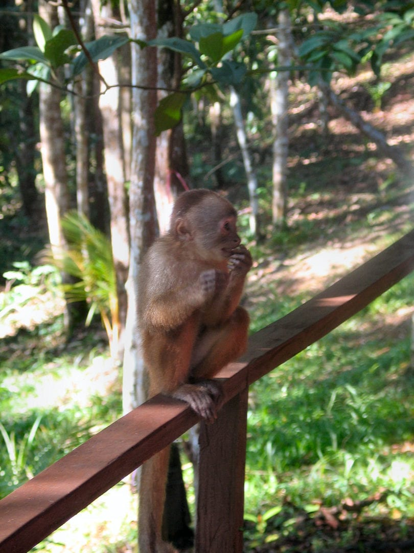 A monkey eating while on a railing