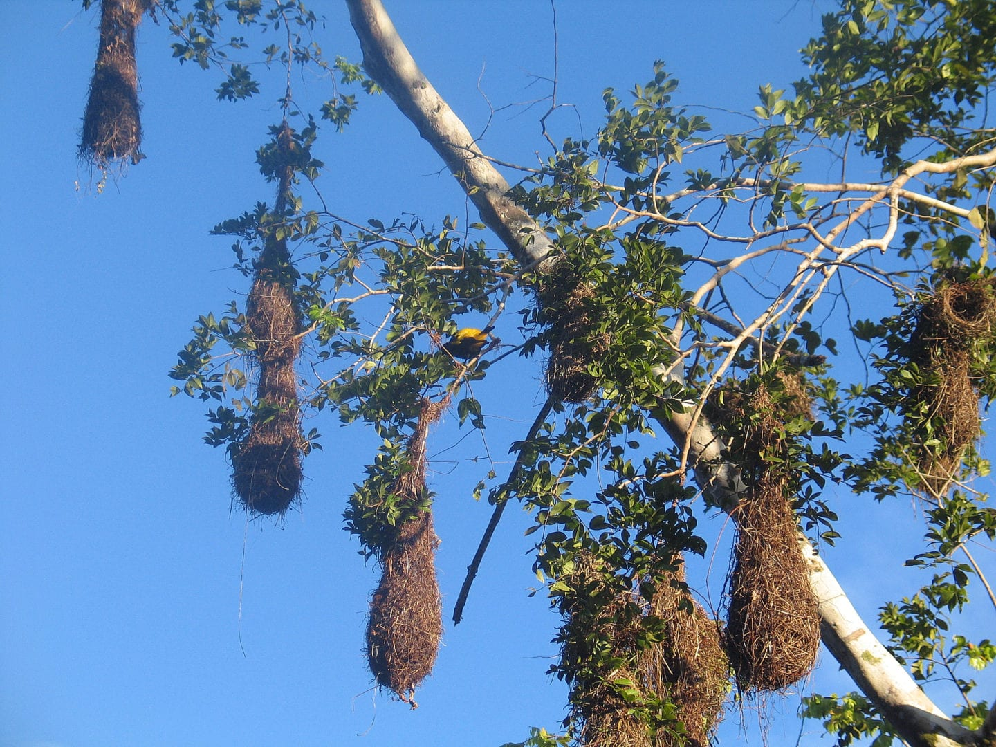 Nests of the Yellow Rump Cacique