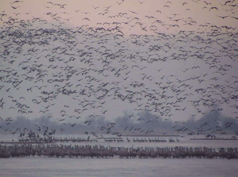 A Sandhill Crane flock