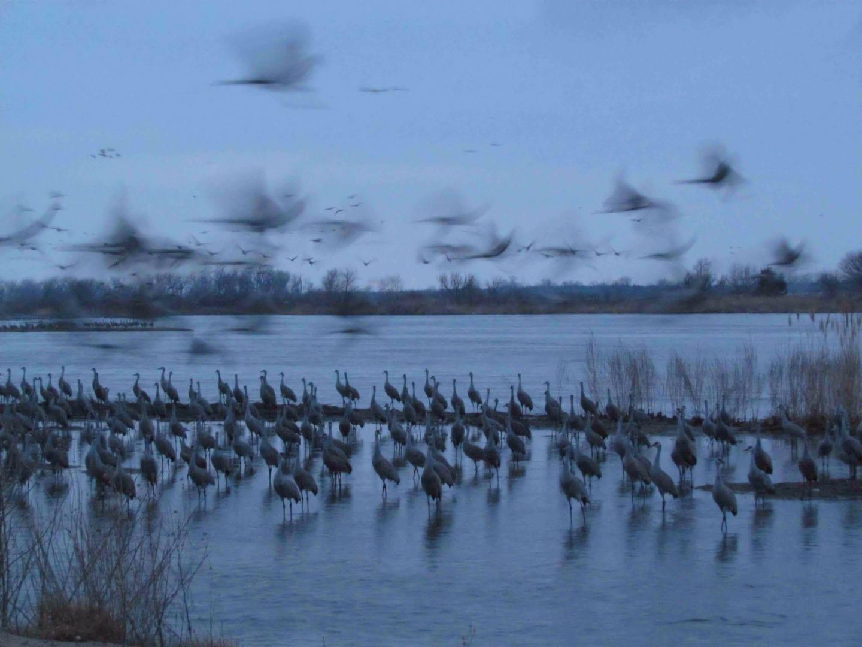 Flocks of cranes at dusk