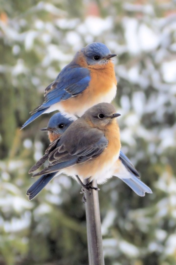 Three blue birds perched on a branch