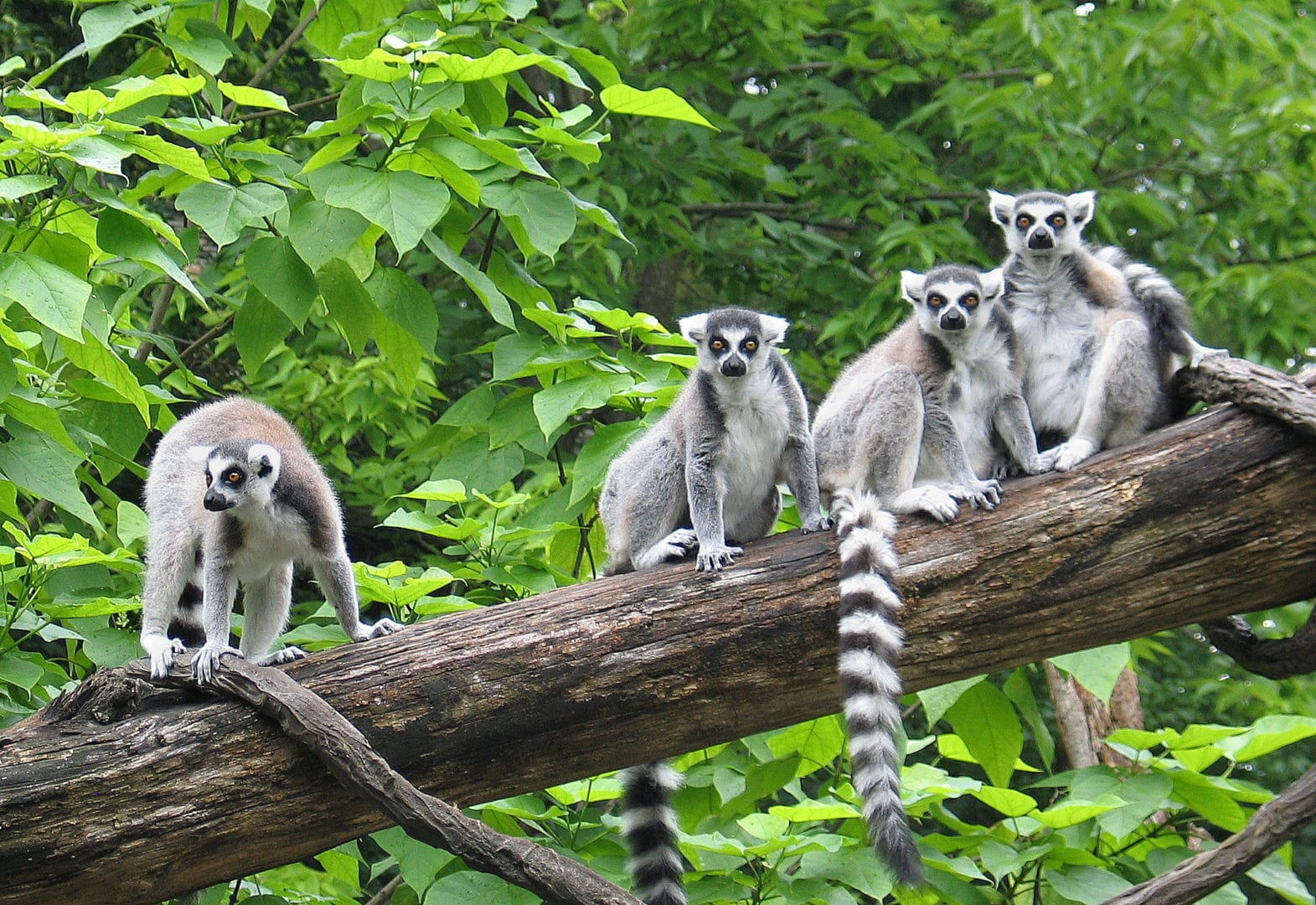 A band of lemurs
