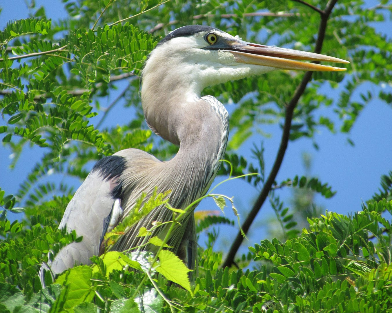 A Great-billed heron at Stonelick lake