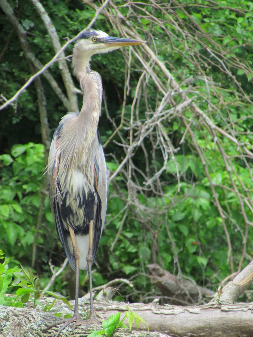 A Great Billed Heron on a branch