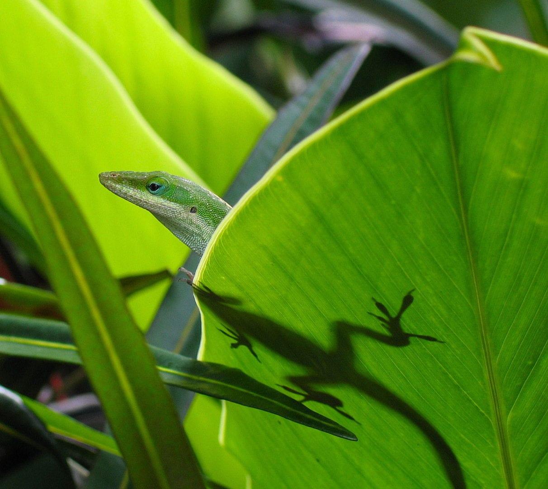 A gecko on a big leaf