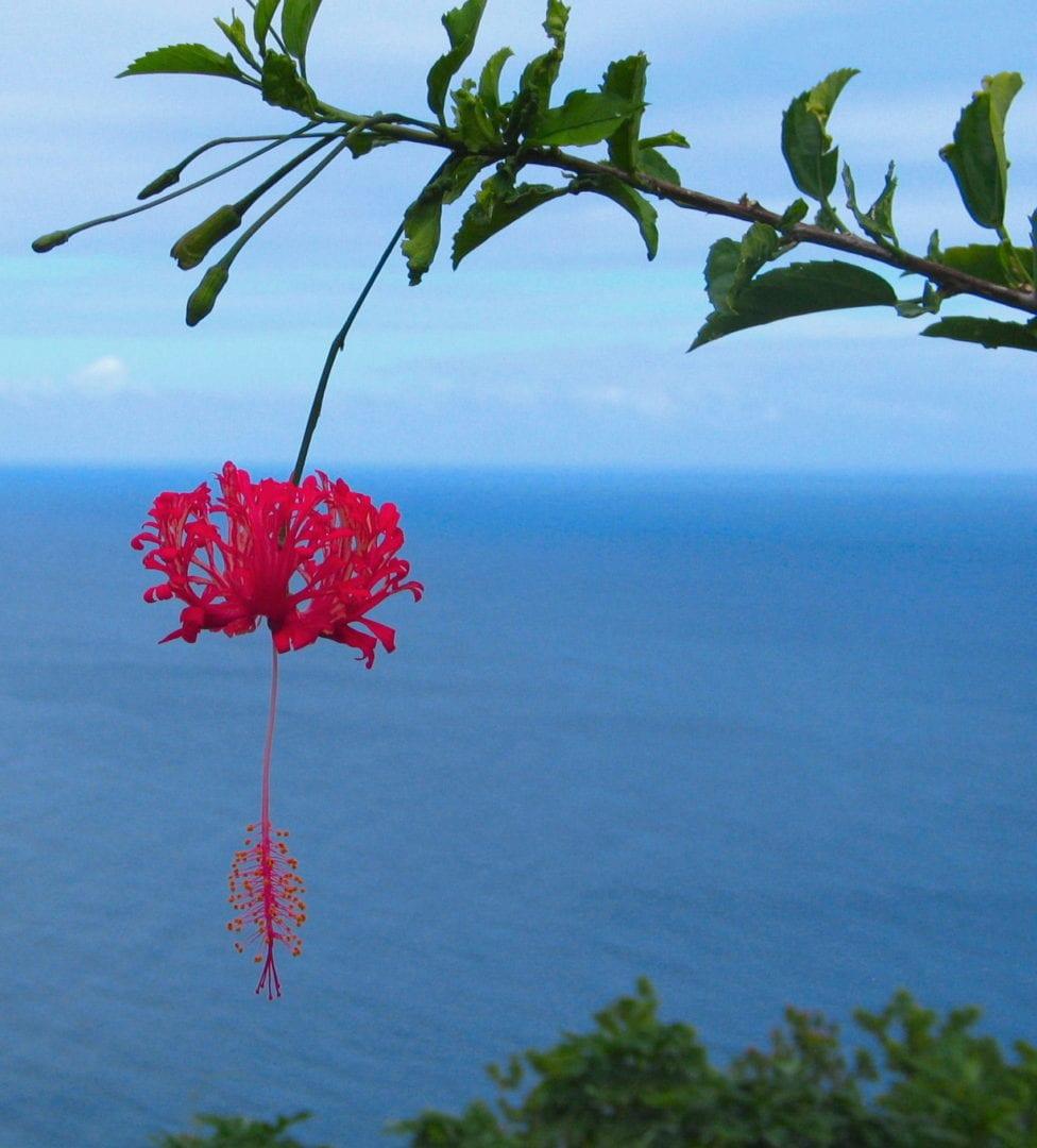 A hanging Japanese Lantern Hibiscus