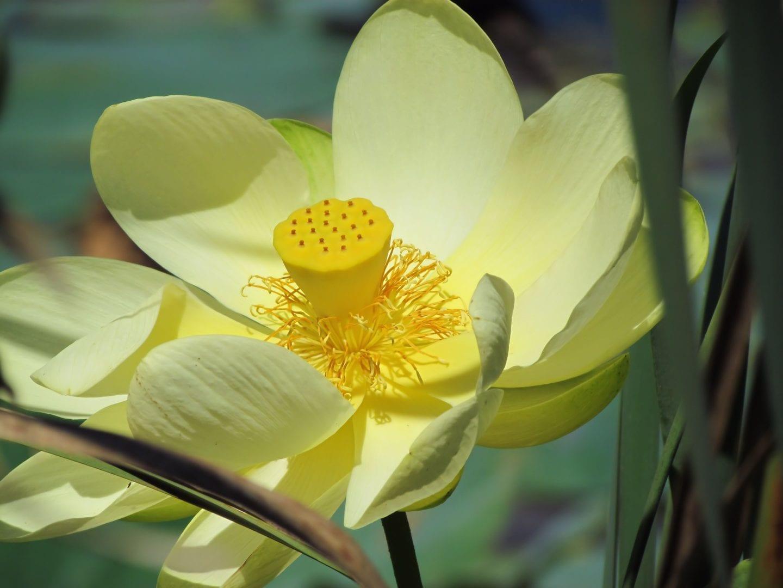 A Lotus flower blooming