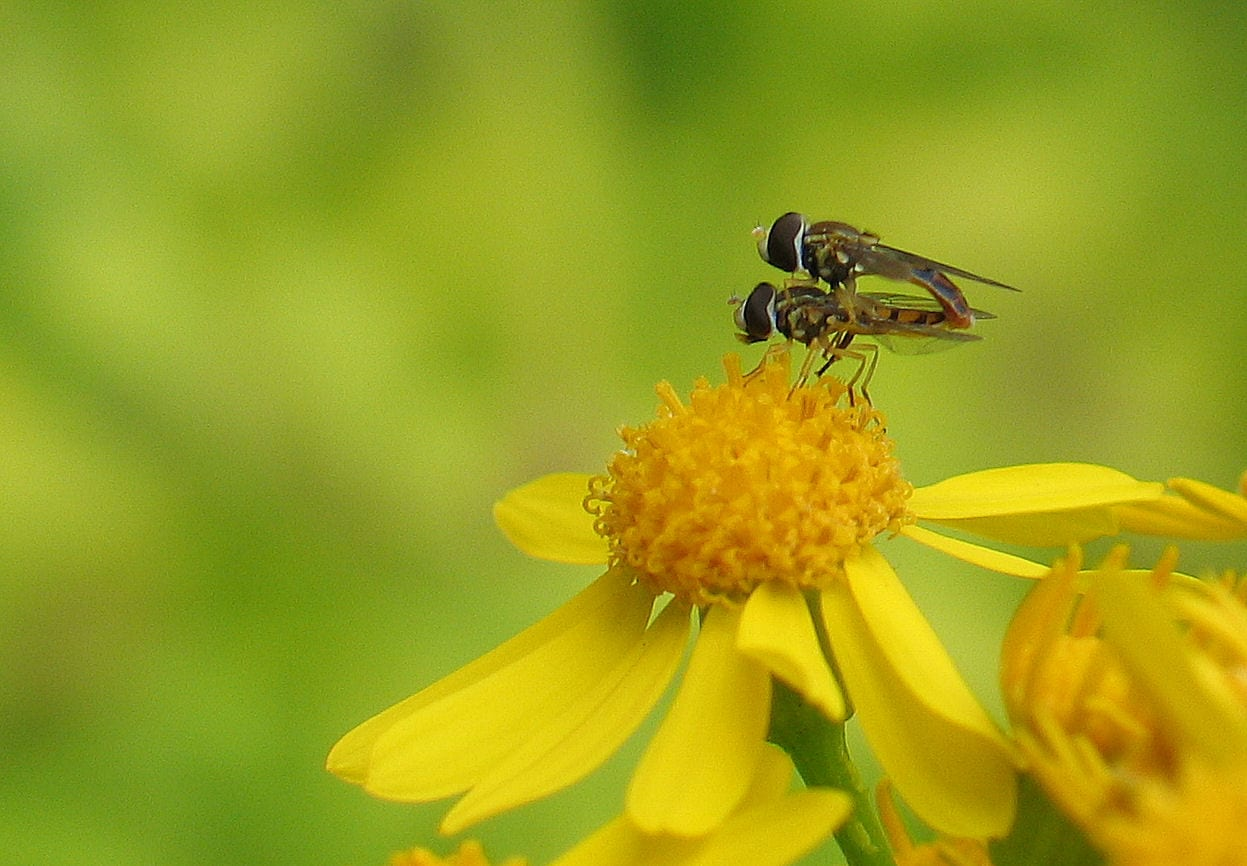 Two insects on a flower