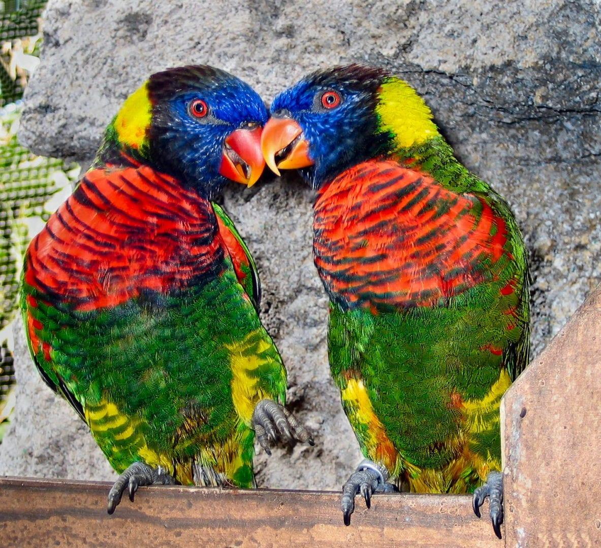 Two Lorikeet birds