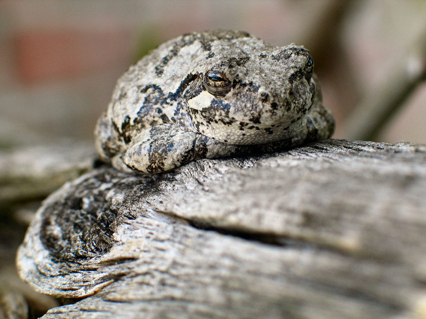 A toad resting